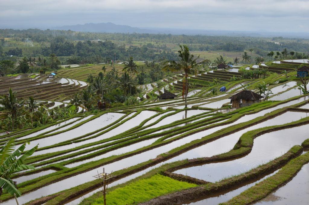 Ricefields Tabanan Jatiluwih Bali